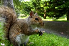 Squirrel in botanical park Royalty Free Stock Photos