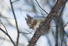 The squirrel on a branch. Eat a cracker Royalty Free Stock Photography