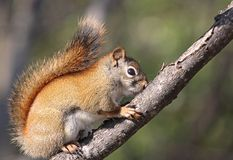 Squirrel on a branch. Squirrel standing on a branch in nature Stock Photography