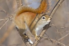 Squirrel on a branch. In nature Royalty Free Stock Image