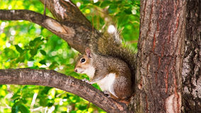 Squirrel on a branch Stock Photography