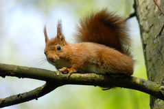 Squirrel on a branch. Red squirrel on a branch Royalty Free Stock Photo