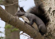 Squirrel_on_a_branch 免版税库存图片