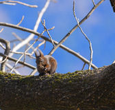 Squirrel on the branch eating a nut Stock Photography