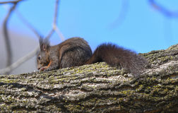 Squirrel on the branch eating a nut Royalty Free Stock Photography