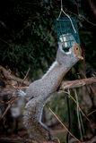 Squirrel on a branch with feeder Stock Photography