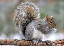 Squirrel on a Branch. A eastern gray squirrel (Sciurus carolinensis) on a branch eating out of its paws Stock Photos