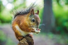 Squirrel on branch with mushroom. Squirrel sitting on branch with mushroom Stock Photo