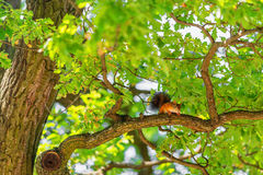 Squirrel on branch of oak tree Stock Photography
