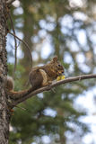 Squirrel on branch with pine cones Stock Photo