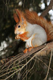 Squirrel on a branch of pine with a meal in the hands Stock Photography