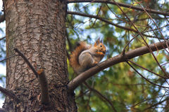 Squirrel on branch pine. Royalty Free Stock Photo