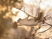 Squirrel on branch reaching for a pine cone. Red squirrel on a branch reaching for a pine cone Stock Photos