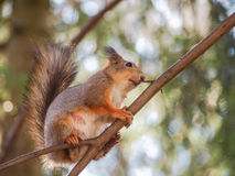 Squirrel on branch Stock Photo