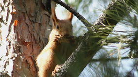 Squirrel on the Branch. stock footage