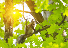 Squirrel on a branch of a tree Stock Photos