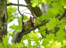 Squirrel on a branch of a tree gnaws a fir cone Stock Image