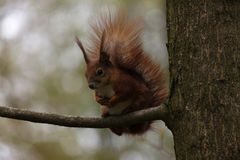 Squirrel on branch of tree Stock Images