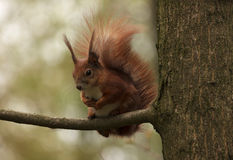 Squirrel on branch of tree Royalty Free Stock Photography