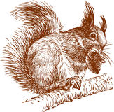 Squirrel on a branch. Vector the image of a squirrel on a branch  eating fir-cone Stock Images