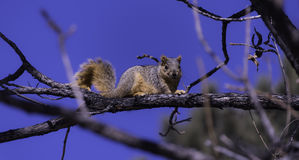 Squirrel on Branch Royalty Free Stock Images