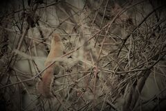 Squirrel in branches Royalty Free Stock Photo