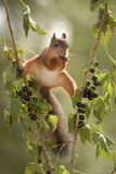 Squirrel between branches with black currant Stock Images