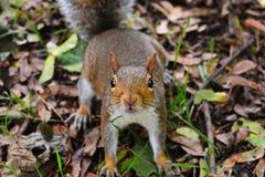 Squirrel. Brave funny squirrel in park Stock Photos