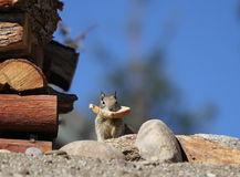 Squirrel with bread. A squirrel stops to pose with a slice of bread in his mouth next to a stack of wood. Blue background copy space stock photo