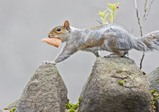 Squirrel with bread at wall Royalty Free Stock Photos