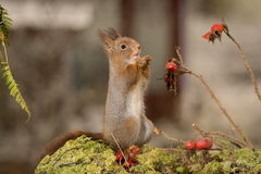 Squirrel and brier Royalty Free Stock Images