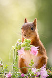 Squirrel bright Royalty Free Stock Photos