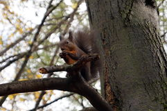 Squirrel with brown hair sitting on a tree branch. And eating a nut Royalty Free Stock Photography