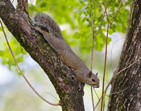 brown Squirrel in a tree Royalty Free Stock Photo