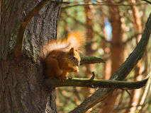 A squirrel on the brunch of pine tree Royalty Free Stock Image