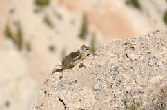 Squirrel in Bryce Canyon Stock Images