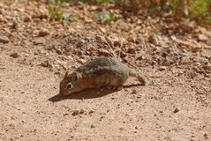 Squirrel in Bryce Canyon Stock Photography