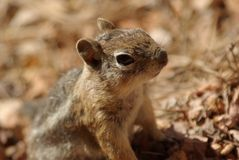 Squirrel in Bryce Canyon. National Park, Utah, US Stock Photos