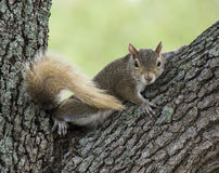 Squirrel with Bush Tail Stock Photography