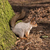 Squirrel with bushy tail on the earth. Close-up. Royalty Free Stock Photography
