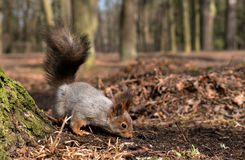 Squirrel with bushy tail on the earth. Close-up. Royalty Free Stock Photos
