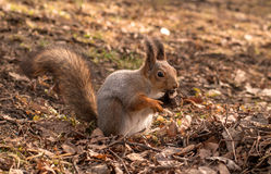 Squirrel with bushy tail keeps paws bone. Close-up. Stock Photography