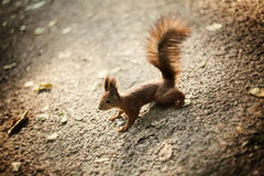 Squirrel with bushy tail Stock Images