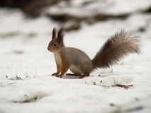 Squirrel with bushy tail sits on the ground Royalty Free Stock Photo