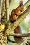 Squirrel c. Squirrel in a tree with sunlight Royalty Free Stock Images