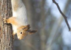 Squirrel a caça que espreita, apesar do fato de que é de cabeça para baixo Foto de Stock Royalty Free