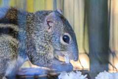 Squirrel. In a cage near term Stock Photography