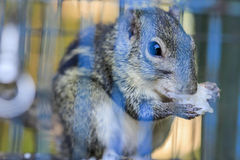 Squirrel. In a cage near term Stock Photo