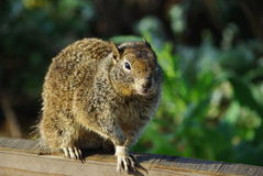 Squirrel, California Royalty Free Stock Images