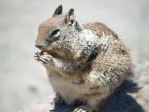 Squirrel, California Coast. Squirrel wildlife ocean oceans coast sea beach animals animal harbor harbour california cali nature rodent chipmunk mouse animal Royalty Free Stock Photography